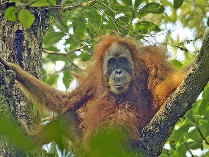 Un ejemplar de 'Pongo tapanuliensis' en la provincia indonesia de Sumatra del Norte.