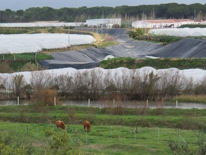 Cultivos de fresa junto al arroyo de La Cañada, en Doñana.