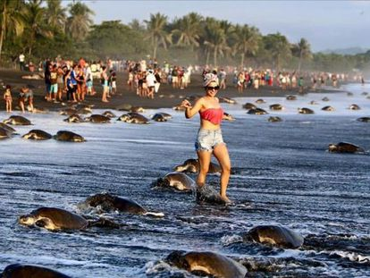 Los turistas, caminando entre tortugas.