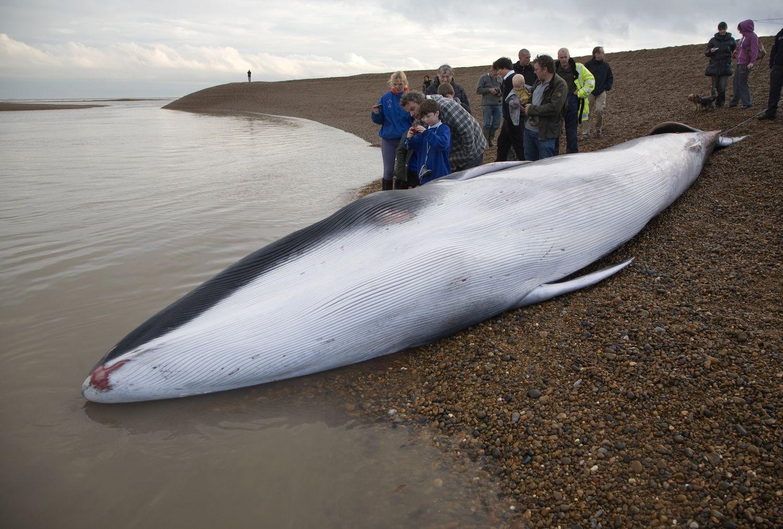 Un ejemplar joven de ballena de aleta, varada en Suffolk (Inglaterra).