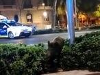 Un jabalí en las calles de Barcelona, en una imagen difundida por las redes sociales.