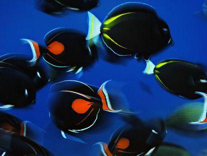 Banco de peces cirujano de Aquiles, en las islas Vostok, República de Kiribati, al noroeste de Australia.