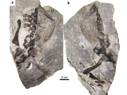 Los fósiles de 'D. unamakiensis' encontrados en Canadá