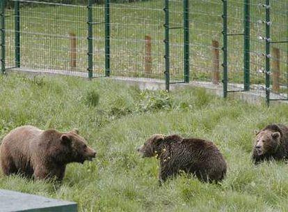Hasta la primavera del año que viene no se sabrá si se consigue la reproducción en cautividad del oso pardo en Asturias.
