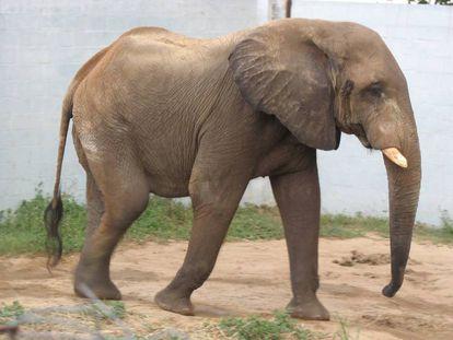 Tantor, el elefante africano del zoológico de Barranquilla, Colombia.
