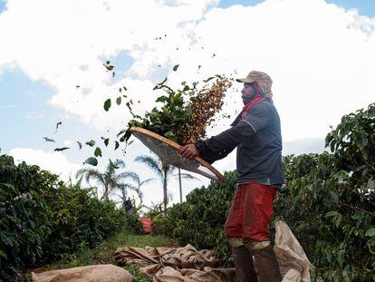 Un campesino separa las bayas de café de las hojas en una plantación brasileña.