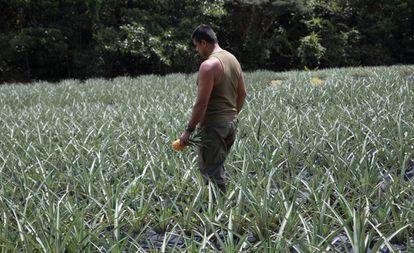 Un excombatiente recorre el cultivo de piñas en el ETCR de Agua Bonita.