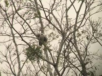 Un aguilucho arpía volando hacia su nido en el Amazonas de Brasil.