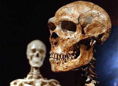 Reconstrucción de un esqueleto de neandertal (derecha) y otro de un hombre moderno, de una exhibición sobre Atapuerca en el Museo de Historia Natural de Nueva York.