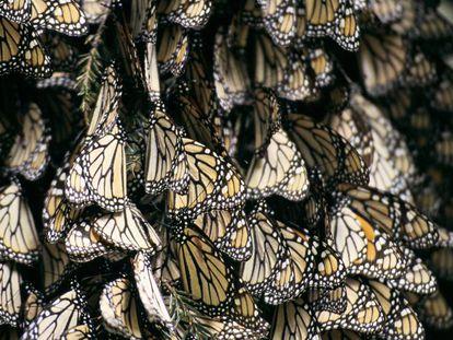 Un grupo de mariposas.