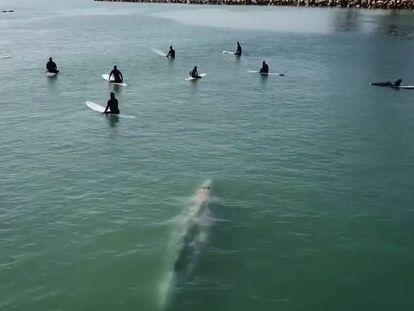 Momento en que la ballena se aproxima al grupo de surfistas. En vídeo, secuencia completa graba por el dron.