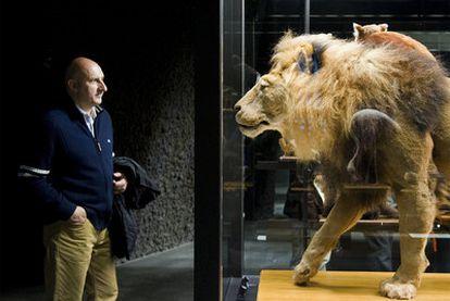 Ejemplar disecado de un león (muerto en el zoo de Barcelona) que puede verse por primera vez en el nuevo museo de Ciencias Naturales de Barcelona.