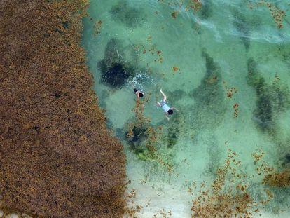 El alga que oscurece la vida en el Caribe mexicano