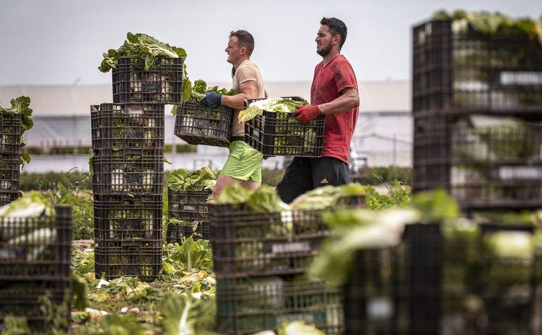 Jóvenes inmigrantes recolectan coles en la huerta valenciana.