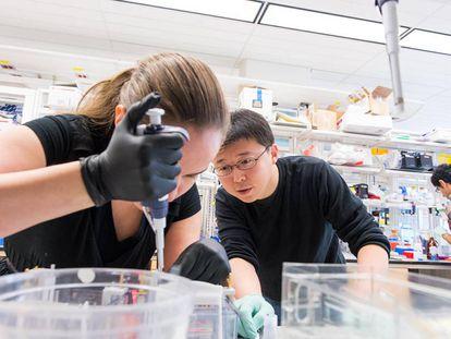 Feng Zhang trabaja en su laboratorio junto a la estudiante Silvana Konermann.