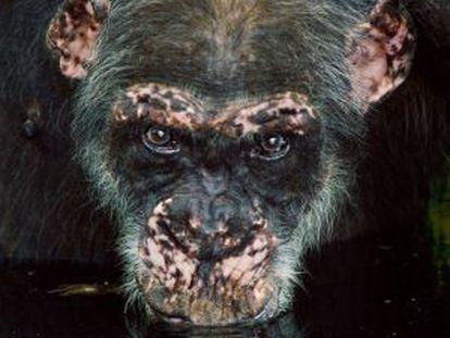 Un viejo chimpancé bebe agua en una charca, en Fongoli, Senegal.