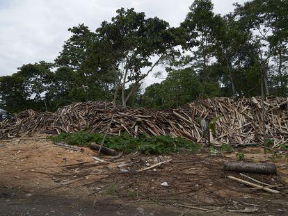 Árboles de balsa, tumbados en Territorio achuar.