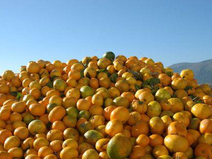 Naranjas dañadas por la mosca de la fruta.