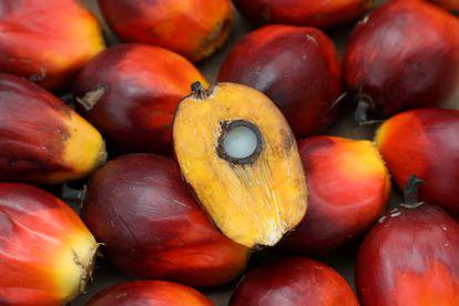 Una semilla de la palma de aceite, recogida en Malasia en enero.