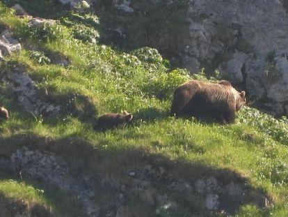 Una osa con dos cachorros, en el parque natural de Somiedo (Asturias).