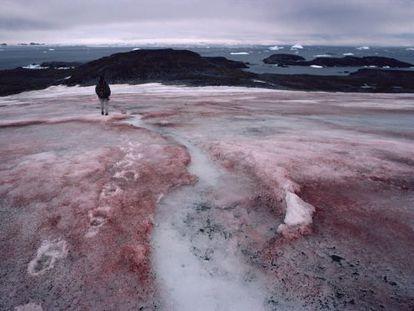 Efecto del alga que convierte la nieve en rosa, en el glaciar McLeod de la Antártida.