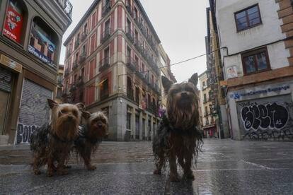 Perros paseando bajo la lluvia en la calle Postas, este Viernes Santo.
