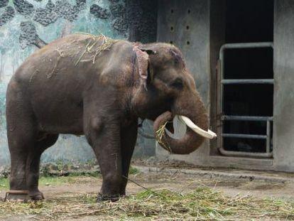 Un elefante del zoo de Surabaya, denunciada repetidas veces por las malas condiciones en las que viven los animales.