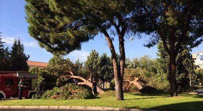 Los dos árboles caídos frente al colegio Montserrat.