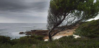 Un árbol retorcido por la fuerza del viento, junto al mar en la Serra d'Irta.