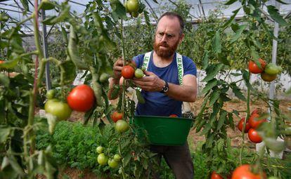 Un granjero francés recoge tomates en su invernadero el pasado septiembre