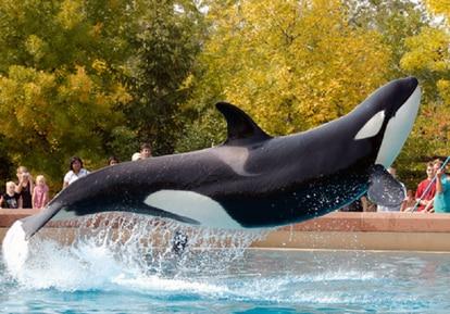 Una orca en el Marineland de Niagara Falls.