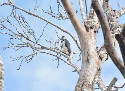Águila arpía encaramada en un árbol de la selva de Mato Grosso en el Amazonas brasilero.
