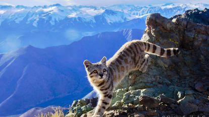 Gato andino fotografiado en 2017 en la región de Coquimbo (Chile).
