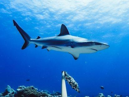 Un tiburón pasando cerca de un dispositivo de grabación en un arrecife.