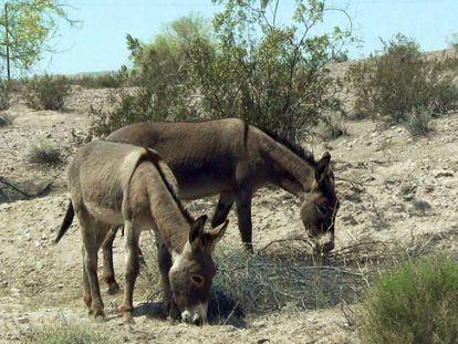 Dos burros en el desierto del Mojave.
