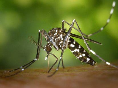 Imagen de un mosquito tigre.