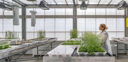 Invernadero con 'Arabidopsis thaliana' en las instalaciones del CRAG.