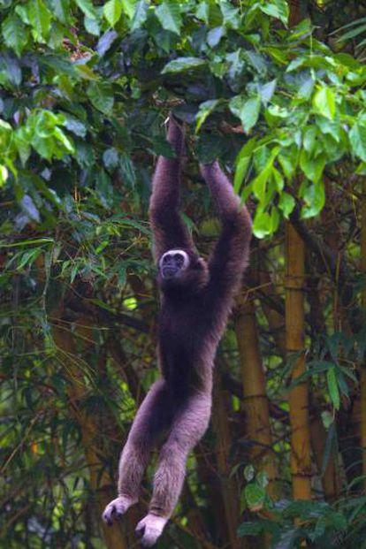 La deforestación está dejando sin espacio a muchas especies del sudeste asiático, como el gibón de Müller de Borneo.