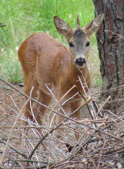 El corzo de un solo cuerno encontrado en la reserva natural de Prato