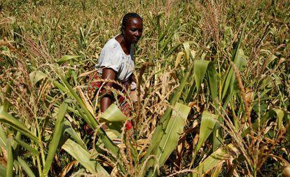 Una mujer observa una cosecha estropeada de maíz, el pasado marzo, en Zimbabue.