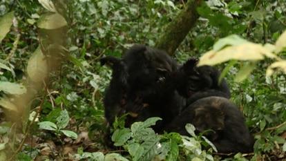 Momento en el que los chimpancés occidentales linchan a 'Erroll' hasta la muerte.