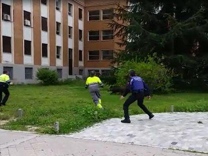 Jabalí en Ciudad Universitaria.