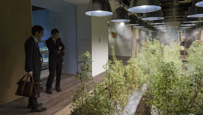 El huerto principal del edificio de oficinas de Pasona Group está ocupado por una plantación de quinoa.