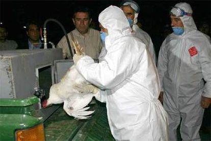 Trabajadores de la Sanidad de Turquía cargan en un vehículo pollos sacrificados, en el oeste del país.