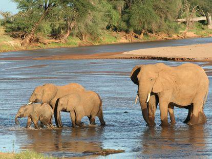 Una familia de elefantes de la sabana en el río Samburu, Kenia.
