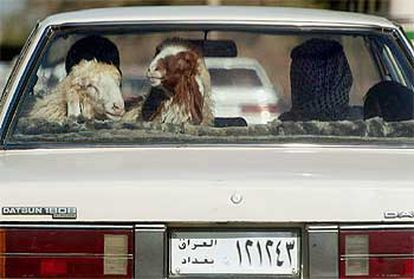 Dos ovejas viajan en la parte trasera de un automóvil en Bagdad.  / ASSOCIATED PRESS
