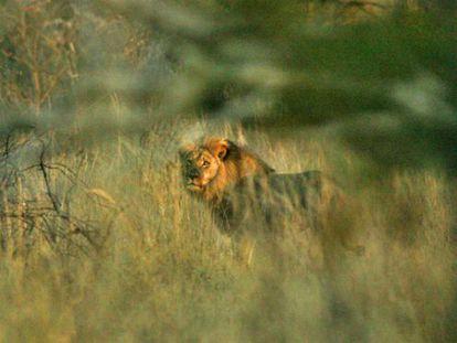 El león 'Jericho', este domingo.