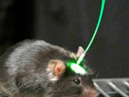 Ratón con implante para estimulación optogenética.