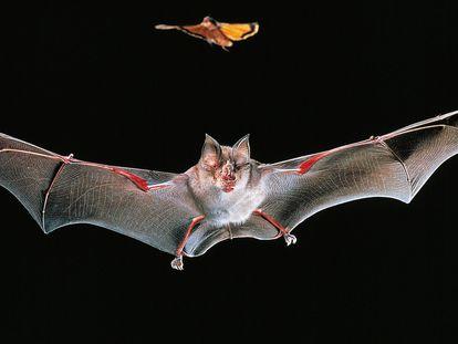 Ejemplar de murciélago grande herradura ('Rhinolophus ferrumequinum'), especie relacionada con la emergencia del coronavirus SARS-CoV-1 que provocó la epidemia de 2003.