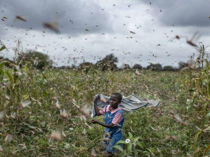 En vídeo, un hombre espanta langostas en Somalilandia. En la foto, una niña entre los insectos en Kenia.